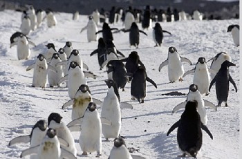 3000-migration-penguins