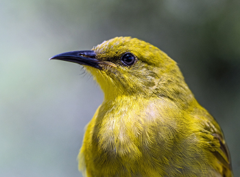 Canary close up