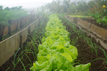 Row of Lettuce